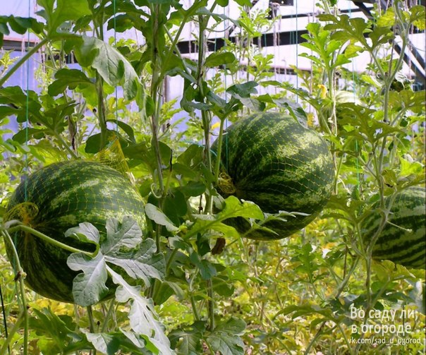 выращивание арбузов в теплице для занятий